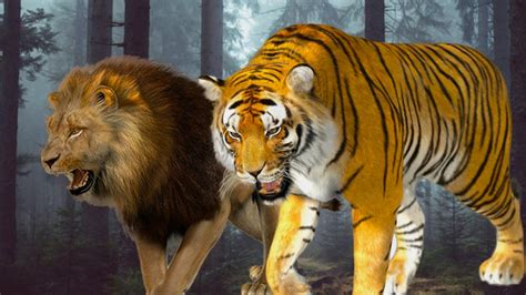 film lion vs tiger tiger vs lion real fight cartoon lion vs tiger real fight
