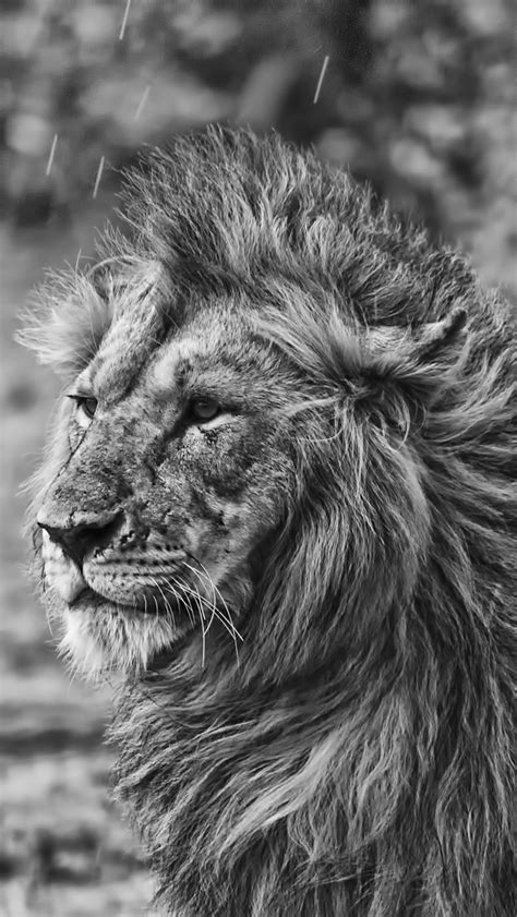 wallpaper for iphone 6 lion lion in the rain the iphone wallpapers