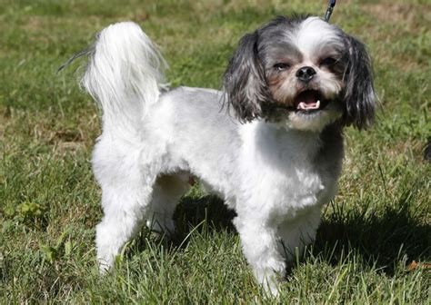 shih tzu dander hypoallergenic pets and cat breeds for allergy sufferers newsday