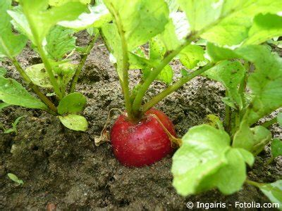 Radieschen Garten Pflanzen by Radieschen Im Garten Gartenratgeber Net