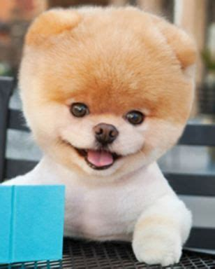 how to shave a pomeranian like boo 17 best images about boo the pomeranian on teddy pomeranian shave it