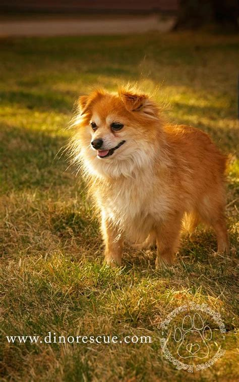 pomeranian calgary 1000 images about dogs who need a home on