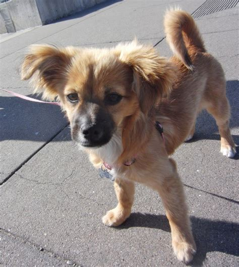 pomeranian and dotson mix of the day zoey the pom chihuahua dachshund mix puppy the dogs of san francisco