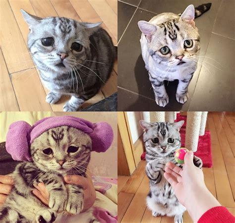 inilah luhu kucing berwajah tersedih di bumi bikin tetap imut inilah kucing dengan wajah tersedih di dunia