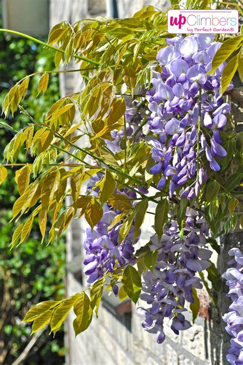 blauwe regen verplaatsen wanneer snoeien blauwe regen blauweregen wisteria with snoeien