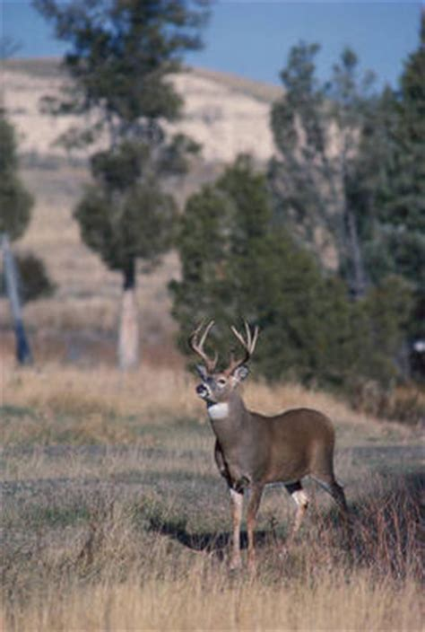 buck define buck at dictionary