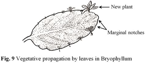 vegetative propagation by roots reproduction in plants a complete guide