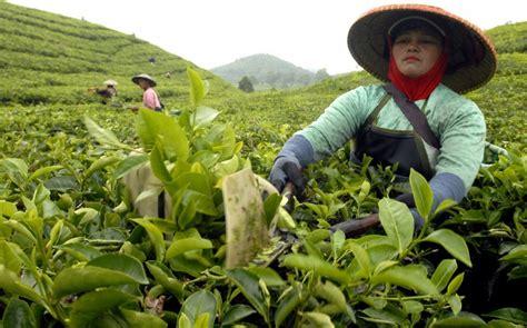 Teh Ekspor teh peluang ekspor indonesia ke as kabari news