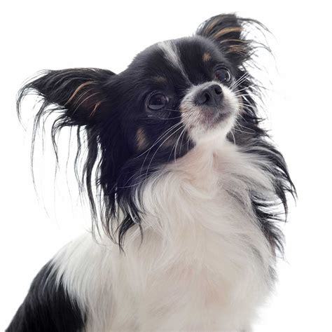 pictures of pets chion breed 187 everything about papillon chihuahua mixes