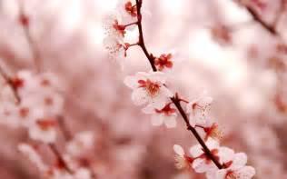 cherry blossom image lovely cherry blossom wallpaper 2560x1600 23207