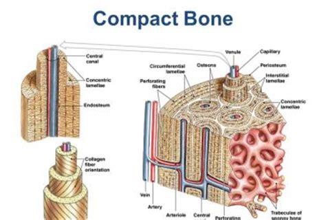 compact bone diagram compact bone diagram