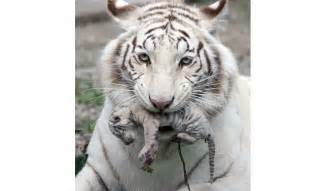 albino animals tiger australian geographic