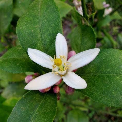 The Lemon Blossom lemon blossom www pixshark images galleries with a