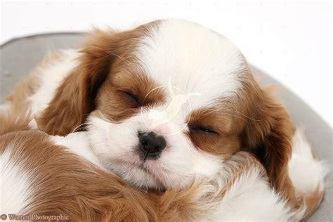 king dogs sleeping king charles spaniel photo and wallpaper beautiful sleeping king charles