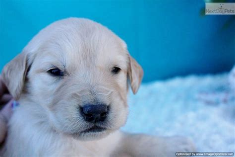 golden retriever puppies for sale st louis golden retriever puppy for sale near st louis missouri ea64fd52 bd41