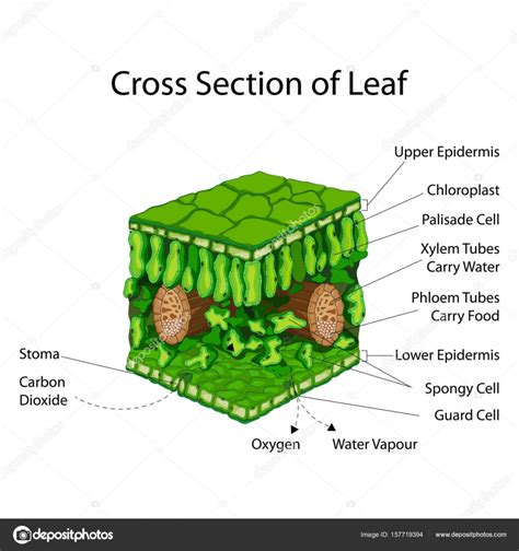 transverse section of a leaf diagram education chart of biology for cross section of leaf