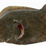 come cucinare il pesce siluro salmone pesce caratteristiche salmone