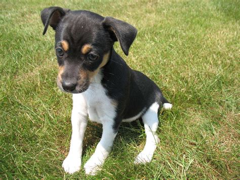 breed behavior rat terrier puppies rescue pictures information temperament characteristics