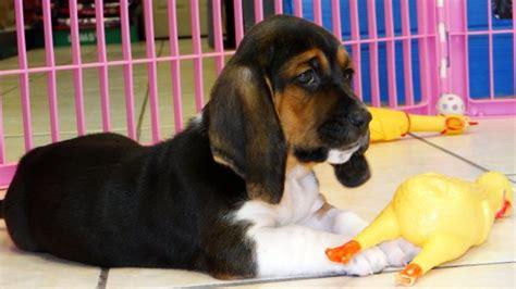basset hound puppies for sale in ga gorgeous tri color basset hound puppies for sale near atlanta ga at atlanta
