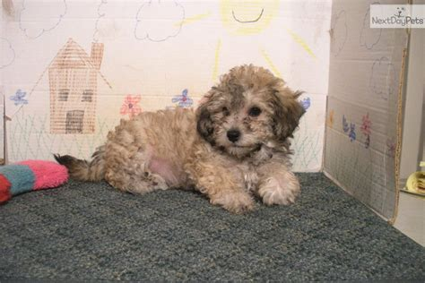 bichpoo puppies meet doodle a poo bichpoo puppy for sale for 350 doodle