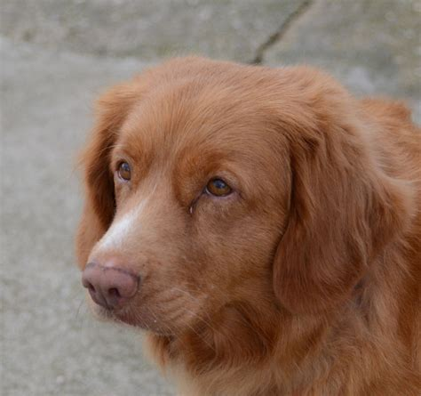 scotia duck tolling retriever puppies scotia duck tolling retriever dereham norfolk pets4homes