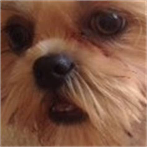 shih tzu eye problem about shih tzu