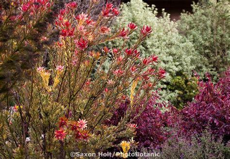 drought tolerant flowering shrubs leucadendron safari sunset drought tolerant australian