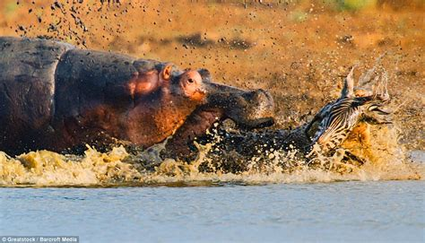 Crocodile attacks zebra and gets attacked by HIPPO in ...
