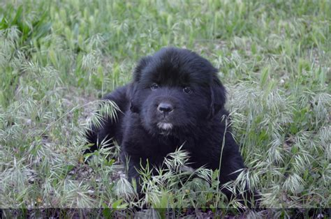 newfoundland puppies for sale ny beautiful newfoundland puppies for sale in colorado newfies