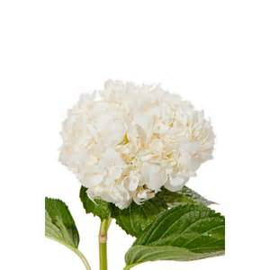 white hydrangeas white hydrangea hydrangea types of flowers flower muse