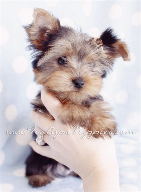 yorkies for sale in 200 200 best images about teacup dogs on yorkie puppies for sale yorkie for