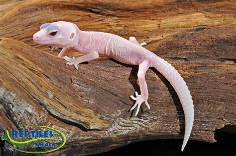 leopard gecko care sheet reptiles  mack