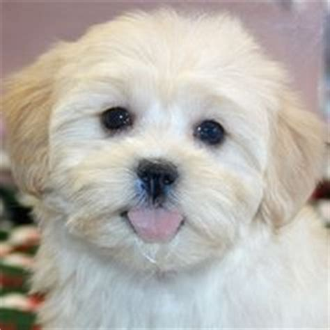 shihpoo puppy haircuts shih poo so cute cute animals pinterest shih poo