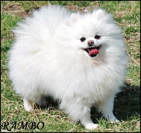 pomeranian obedience miniature breeds breeds small dogs obedience breeds picture