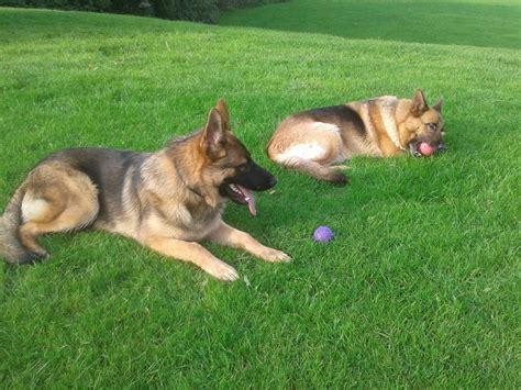 wolf german shepherd puppies pin wolf german shepherd puppies price 50000 for sale in denison on