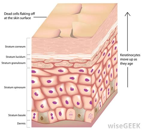 diagram of skin cell what are keratinocyte cells with pictures