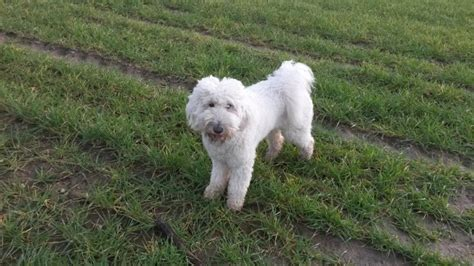 goldendoodle puppies for sale in essex 2 goldendoodle puppies left colchester essex