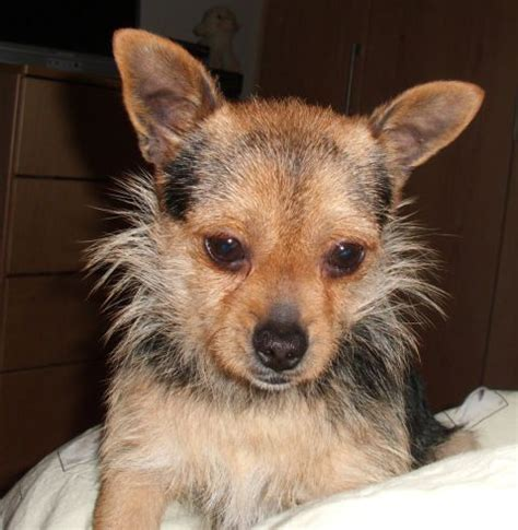 chihuahua yorkie terrier mix pictures of chihuahua and yorkie mix breed breeds picture