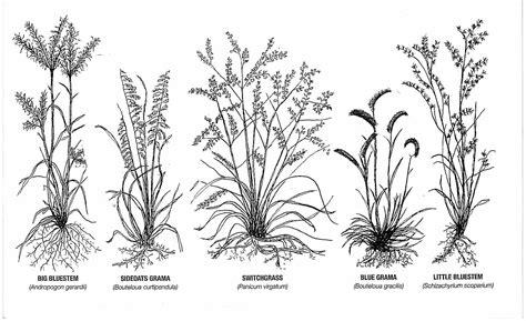 grass tattoo prairie grass research switchgrass