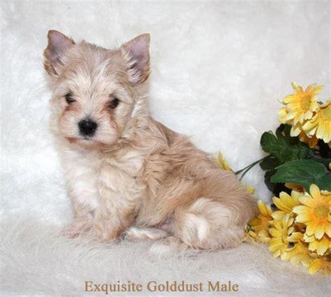 golddust yorkie terrier puppies va exquisite terrier