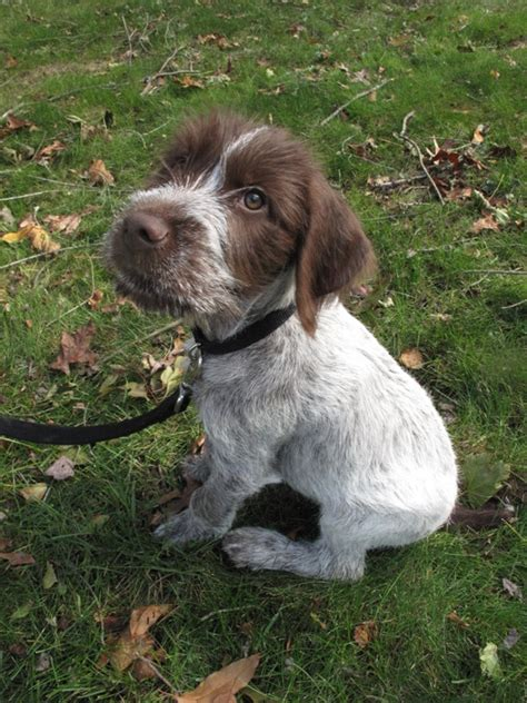 german wirehair puppies german wirehaired pointer cheekpuffs and freckles
