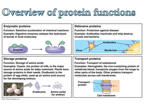 protein 4 functions 5 4 proteins introduction ppt