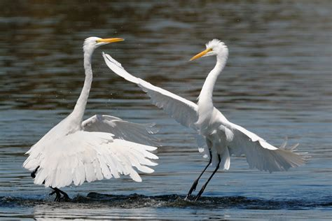 how to paint autumn egret painting packet books great egret water ballet egret fight 2 jpg