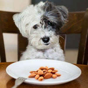 dogs and almonds can dogs eat almonds and can dogs eat almond butter everyday