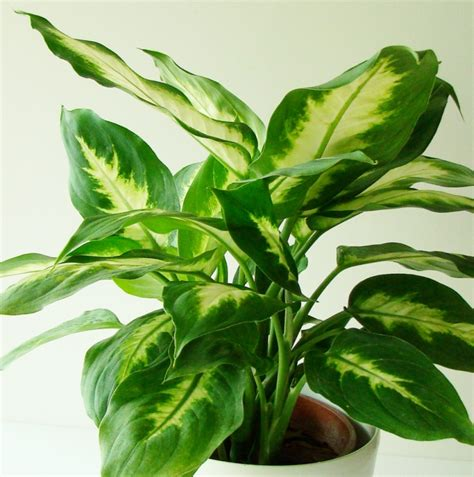 Office Plants That Don T Need Sunlight by Gardener S Watch Chinese Evergreen Aglaonema