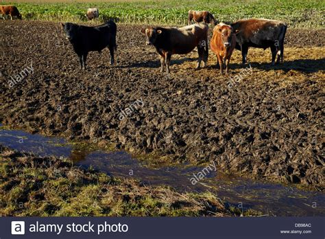 what is pugging cows and pugging around drainage waterway taieri plains near stock photo royalty