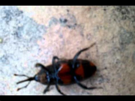 blatte rosse volanti collezione di scarafaggi vivi doovi