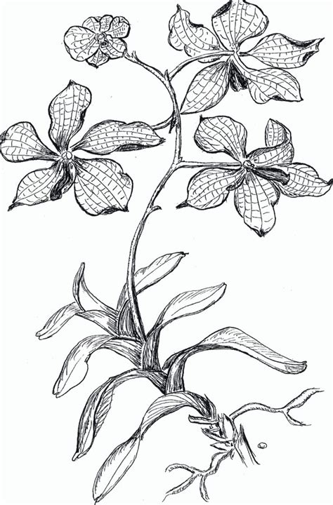orchid coloring pages orchid coloring pages pictures imagixs line art