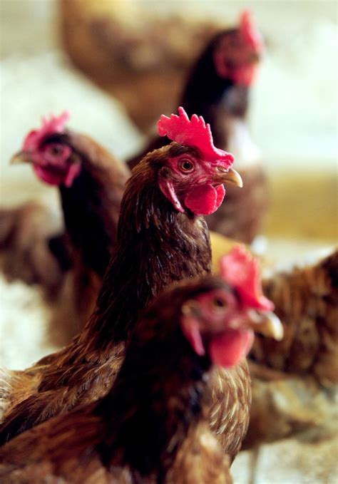 backyard chickens may be allowed in salem lakes local