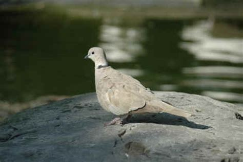 grey dove with black ring around neck ringneck doves dove home page